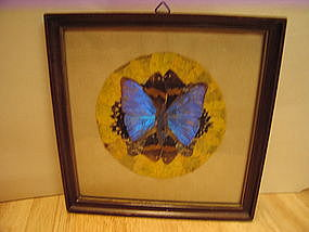 Framed Mounted Butterfly  SOLD